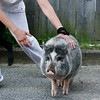 Newburyport: A pig that escaped from a home on Water Street is corralled by its owner Tuesday afternoon. Photo by Ben Laing/Staff Photo