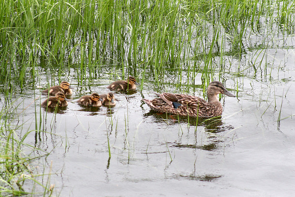Salisbury: A mother duck and her ducklings swim among some grass along the banks of the Merrimack River near the Salisbury Town Pier on Sunday afternoon. Photo by Ben Laing/Staff Photo