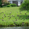 West Newbury: A rather large number of geese gather on the front lawn of a home on Moulton Street in West Newbury. Photo by Ben Laing/Staff Photo