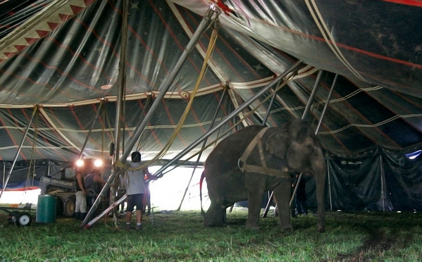 Merrimac: The Kelly Miller Circus raised their big top in Merrimac Tuesday morning, with the help of one of their elephants. Photo by Ben Laing/Staff Photo