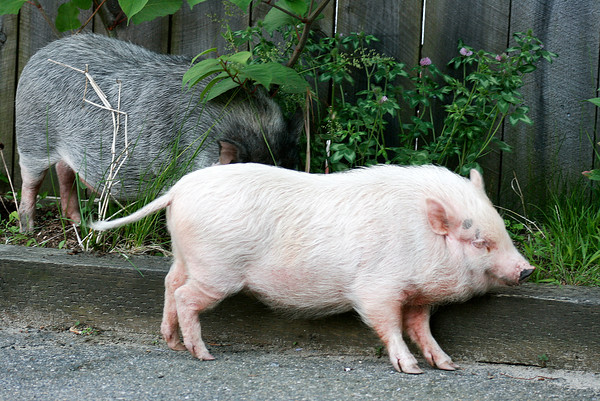 Newburyport: A pair of runaway pigs made their way into the driveway of a home on Water Street Tuesday afternoon, after escaping from their pen. The pigs caused a minor traffic jam as people slowed down to get a look at the unique sight, before their owner corraled them. Photo by Ben Laing/Staff Photo