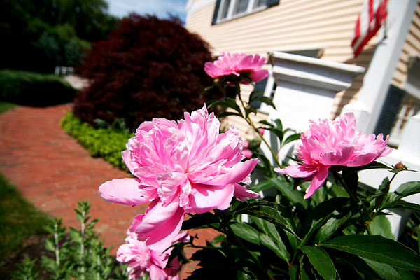 Newburyport: The flowers of Kim Mack's garden on Lorum Street will be on display for the Garden Tour this weekend. Photo by Ben Laing/Staff Photo