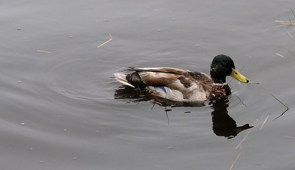 Salisbury: A duck swims by Salisbury Town Pier Wednesday morning.Jim Vaiknoras/staff photo