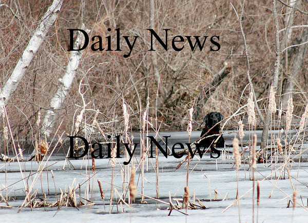 West Newbury: Charlie the black lab, was stuck in the ice at the Moulton Street Resivior in West Newbury. The West Newbury fire and police departments responded and helped pull Charlie to saftey. Photo by Ben Laing/Staff Photo