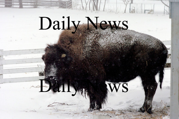 Newbury:<br /> Buffy the resident buffalo at Tendercrop Farm in Newbury seems unfazed by the coating of snow covering its coat.<br /> Photo by Bryan Eaton/Newburyport Daily News Monday, March 02, 2009