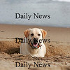 Newbury: A yellow lab sits in the hole he just dug along the beach on Plum Island Tuesday afternoon. Photo by Ben Laing/Staff Photo