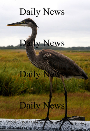 Newbury: A great blue heron stands on the guard rail onlong the Plum Island Turnpike Wednesday morning. Jim Vaiknoras/Staff photo