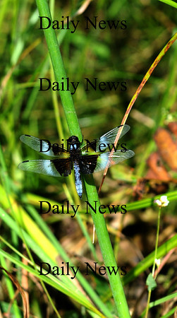 West Newbury; A dragonfly rests on a blade of grass along the shore of Mill Pond in West Newbury Monday. Jim Vaiknoras/Staff photo