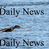 Salisbury: A commorant takes flight after paddeling around the Merrimack River near the Salisbury town pier Monday afternoon. Photo by Ben Laing/Staff Photo