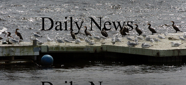 Salisbury: Cormorants and seagulls alike face into yesterday's strong wind while resting on a dock at Ring's Island in Salisbury. Bryan Eaton/Staff Photo Newburyport News  Tuesday  September 9, 2009.