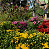 Salisbury: Doug Morris and other members of the Sea Spray Garden Club weeded and took out summer annuals in one of their gardens at Beach and Ferry Roads in Salisbury yesterday and planting mums. The group maintains five garden spots all over town. Bryan Eaton/Staff Photo Newburyport News  Monday  September 14, 2009.