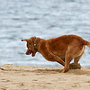 Newbury: An excited dog digs a hole on the beach at Plum Island Wednesday morning as it searches for it's missing tennis ball. Photo by Ben Laing/Staff Photo
