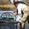 Newbury: Jay Shields add trout to a trap in the Parker River, where they will be transported down river and released in an effort to restock the river. Volunteers from Trout Unlimited, a non-profit conservation agency helped with the restocking. Photo by Ben Laing/Staff Photo