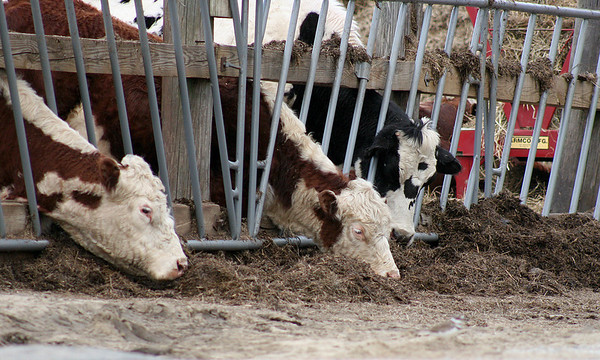 Amesbury: Three cows at a farm on the corner of South Hunt Road and Buttonwood Road in Amesbury, poke their heads through the fence to snack on a pile of hay Tuesday afternoon. Photo by Ben Laing/Staff Photo