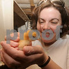Newbury: Mary Carpenter with one of the chicks  at New Eden at the First Parish Church in Newbury. Jim Vaiknoras/Staff photo