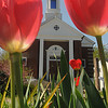 Salisbury: Tulips frame the Star of the Sea Church in Salisbury on a bright spring morning Saturday. Jim Vaiknoras/Staff photoi