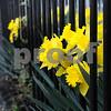 Newburyport: Bright yellow daffodils grow between the posts of an iron fence on High Street in Newburyport. Jim Vaiknoras/Staff photo