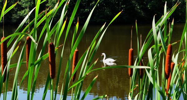 Newbury: A mute swan glides past some cattails at Quill's Pond on Hay Street in Newbury. Bryan Eaton/Staff Photo