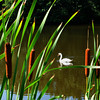 Newbury: A mute swan glides past some cattails at Quill's Pond on Hay Street in Newbury. Bryan Eaton/Staff Photo