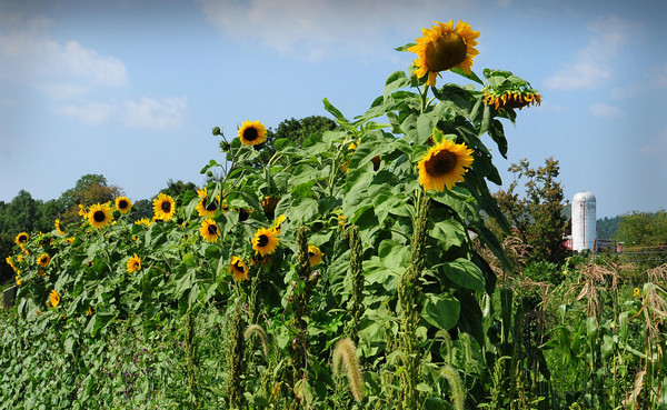 Amesbury: Sunflowers stand at Amesbury Community Gardens in the heat of their namesake star yesterday afternoon. Area gardeners and farmers are hoping that Hurricane Earl drops some rain at the end of the week, perhaps without any strong winds. Bryan Eaton/Staff Photo