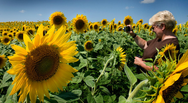 Newbury: Paula Wright of Newbury photographs the huge field of sunflowers that has become an annual stop for people at Colby Farm on Scotland Road in Newbury. The amateur photographer likes to spray the flowers with water to give a fresher look and make them glisten. Bryan Eaton/Staff Photo