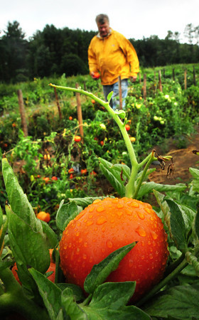 Salisbury: Rob Bartlett welcomes the site of raindrops on the tomatoes at his family farm in Salisbury yesterday afternoon. Showers continue off and on through tomorrow offering farmers, home gardeners and fire departments relief as the time of the precipition allows the water to seep in better than a heavy, passing shower. Bryan Eaton/Staff Photo