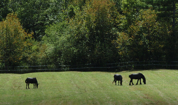 Salisbury: Three horses graze in what may be a greener pasture yesterday after several inches of rain have fallen since Sunday. Bryan Eaton/Staff Photo