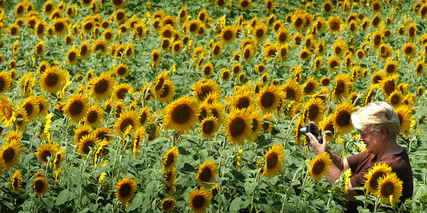 Paula Wright of Newbury photographs the huge field of sunflowers that has become an annual stop for people at Colby Farm on Scotland Road in Newbury. The amateur photographer likes to spray the flowers with water to give a fresher look and make them glisten. Bryan Eaton/Staff Photo