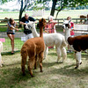 Newbury:Visitor to the Fiber Revival at the Spencer Pierce-Little Farm in Newbury check out the  Alpaca's from Little's Lane Aplapcas. The event gathered spinners, loamers and knitters to celebrate working with fibers. Jim Vaiknoras/Staff photo