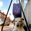 Newburyport: Annie relaxes in the shade of a row of sarongs for sale at Ganesh Imports on State Street in Newburyport. Annie belong to the owners of teh store. Jim Vaiknoras/Staff photo