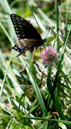West Newbury: A black swallowtail butterfly  lands on a clover blossum at Mill Pond in West Newbury. Jim Vaiknoras/Staff photo