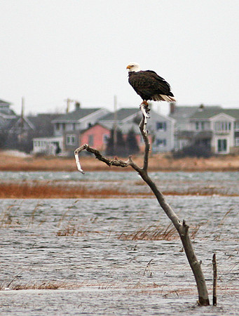Newbury: A bald eagle sits perched on a tree branch in the marsh off of Plumbush Downs on Plum Island Monday morning. Photo by Ben Laing/Staff Photo