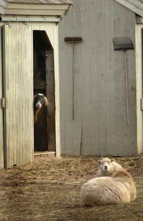 Newbury: A goat peers out a door while it and a sheep check out some visitors to the menagerie at Spencer-Peirce_Little Farm in Newbury on Tuesday afternoon. Bryan Eaton/Staff Photo