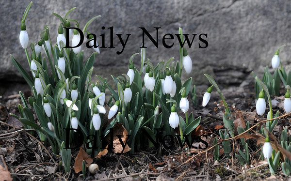 Newburyport: Snowdrops grow along the Newburyport Historical Society on High Street in Newburyport. Generally the first flower of spring flower, it's apperance in early Feb. seems to contradicts the groundhog's prediction last Tuesday of six more weeks of winter.Jim Vaiknoras/Staff photo