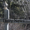 Amesbury: A hawk perches on a wooden sign post on Elm Street in Amesbury. Jim Vaiknoras/Staff photo