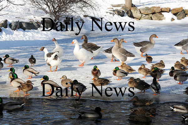 Rowley: Dozens of ducks and a few geese flock to the un-frozen corner of a small pond on Bradford Street in Rowley. Photo by Ben Laing/Staff Photo