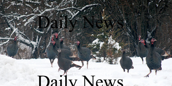 Newbury: A flock of turkeys congregate on the front lawn of a High Road residence Wednesday afternoon in Newbury. Photo by Ben Laing/Staff Photo