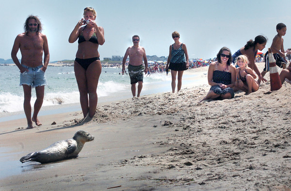 Salisbury: A seal pup garnered lots of attention at Salisbury Beach State Reservation yesterday afternoon as it rested along the beach just north of the lifeguard station. The DCR  put up cones to keep the animal lovers from getting too close to the ocean mammal until it returned to the ocean. Bryan Eaton/Staff Photo