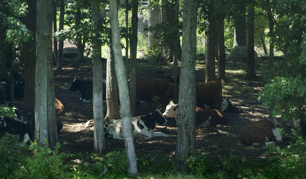 Salisbury: A herd of cows take refuge from the heat in the woods at Bartlett's Farm on Congress Street in Salisbury on Tuesday. Bryan Eaton/Staff Photo