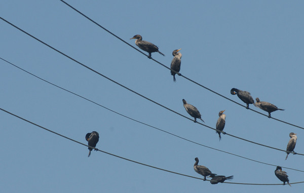 Newbury: Cormorants perch on power lines along the Plum Island Turnpike ,looking like musical note on a scale. Jim Vaiknoras/Staff photo