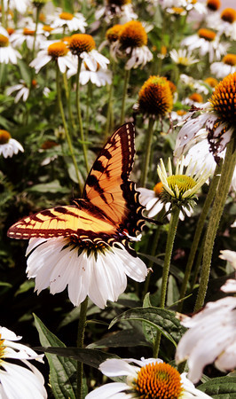 Georgetown: A Eastern Tiger Swallowtail butterfly rest on a daisy in Georgetown near the Black Swan Country Club. Jim Vaiknoras/Staff photo