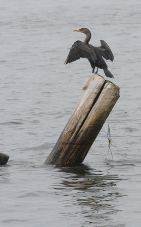 Newbury: A cormorant dries it's wings on a old piling on Plum Island Point early Fiday morning. Jim Vaiknoras/Staff photo