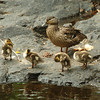 Amesbury: Six mallard duck chicks preen themselves under the watchful eye of their mother Monday afternoon. They were in the Powow River in Amesbury's Upper Millyard out of view of casual observation. Bryan Eaton/Staff Photo