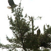 West Newbury: One of the adult bald eagles lands above the nest holding two juveniles. Bryan Eaton/Staff Photo