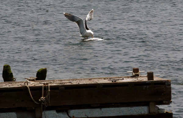 Salisbury: A seagull tried its best to try to pull this dead fish out of the Merrimack River off Ring's Island yesterday afternoon. After several attempts, which gained the attention of other gulls, it gave up. Bryan Eaton/Staff Photo