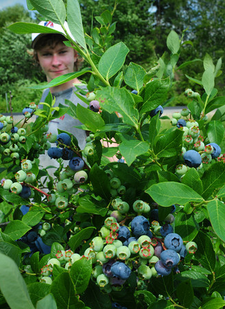 South Hampton: Patrick Hopkins of South Hampton, who's been picking blueberries for Heron Pond Farm for several years among other chores, shows off this year's crop. The South Hampton farm will have an earlier crop this years which will be available at the stand by early next week. Bryan Eaton/Staff Photo