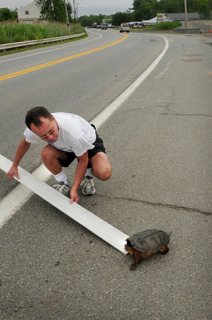 Salisbury: Dan Mahoney, owner of Moe's Package Store on Plum Island, pictured, stopped on Route One in Salisbury Thursday morning seeing a snapping turtle trying to cross the busy road. He tried to move the angry reptile out of harms way and got it to the side of the road, but apparently the turtle was heading back to Town Creek after likely laying eggs on the other side of the road. David Brocher saw the activity and stopped, grabbed the turtle from behind and brought it across back to the creek. The Middle Road, Newbury resident sees about 20 turtles a year near his home and is accustomed to picking them up and moving them to safety. Bryan Eaton/Staff Photo