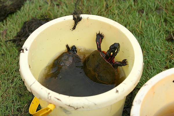 Newbury: An adult turtle and its baby find a temporary home in the bucket of Nick Cutrone of Newburyport Monday morning. Nick and his younger brother Will caught the turtles in Quills Pond in Newbury. Photo by Ben Laing/Staff Photo