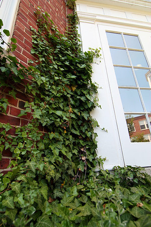 Newburyport: Ivy climbs the walls of Newburyport High School. Each graduating class has planted ivy during the week leading up to commencment. Much of the original ivy was saved during the restoration of the building in 2001, and replanted at different spots around the school. Photo by Ben Laing/Staff Photo
