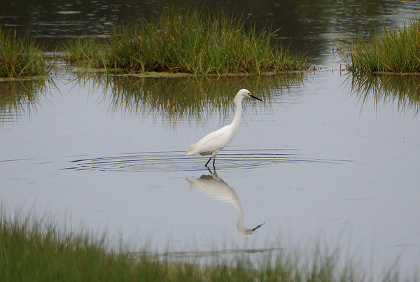 Rowley: A snowy egret hunts in the still water of a pond along rt 1a in Rowley Sunday morning. JIm Vaiknoras/Staff photo